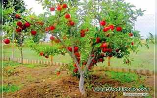 Достоинства и недостатки карликовых яблонь