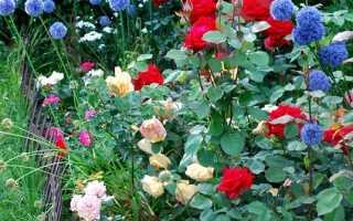Роза марвел фото и описание