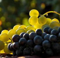 Виноград сколько сахара в нем содержится