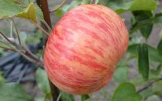 Яблоня медуница высота дерева