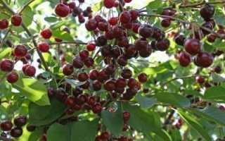 Как скоро плодоносит вишня после посадки