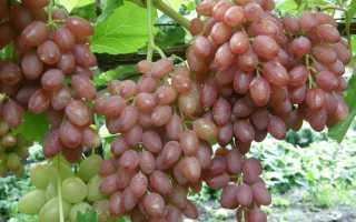 Размножение виноградной культуры