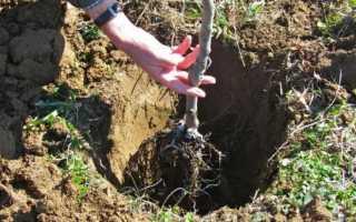 Как правильно посадить груши осенью