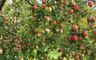 Яблоня юбиляр описание сорта