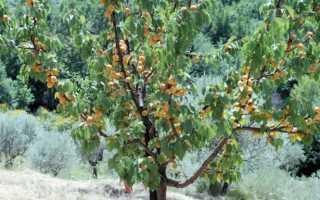 Правила выращивания абрикоса фаворит