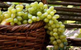 Самый устойчивый сорт винограда подарок запорожью