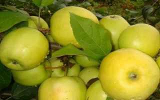 Полукультурная яблоня юнга фото и описание сорта