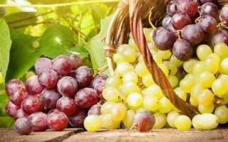 Болезни и вредители как защитить виноград