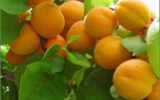Характеристики абрикоса сорта алеша