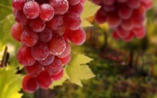 Ранние розовые сорта винограда и их достоинства
