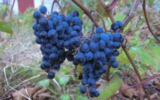 Выращивание винограда мариновский