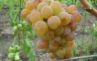 Выращивание винограда амирхан