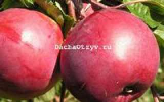 Сорт яблони дарунак