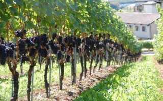Обрезка винограда бесштамбовым способом