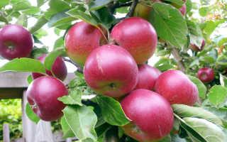Можно ли вносить навоз осенью под яблони