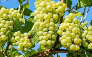 Виноград в природе