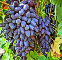 О винограде памяти негруля