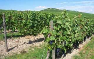 Как растить виноград на северо западе