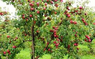 Лишайники на яблонях как бороться