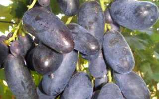 Сорт винограда велика