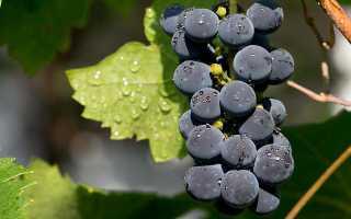 Всем ли виноградным кустам необходимо пасынкование