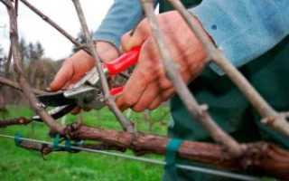 Виноград формирование лозы обрезка уход