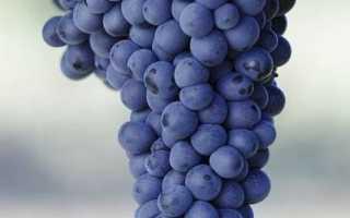Виноград сорта адель описание сорта