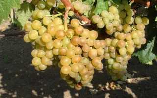 Основные сорта винограда выращиваемые в венгрии