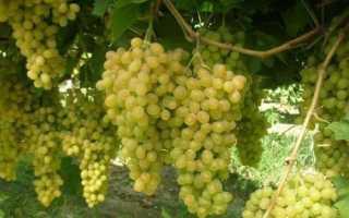 Детальное описание винограда валек