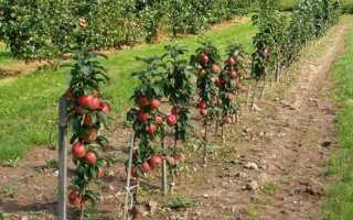 Яблоня на карликовом подвое посадка и уход