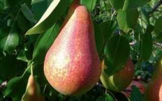 Груша перун характеристика секреты успешного выращивания