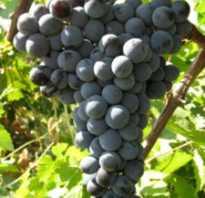 Виноград цимлянский черный описание сорта отзывы
