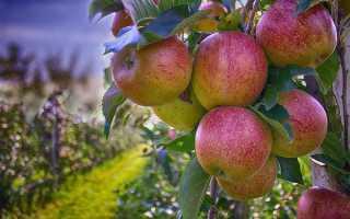 На какой год плодоносит яблоня после посадки