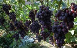 Гибридный виноград павловского эффект