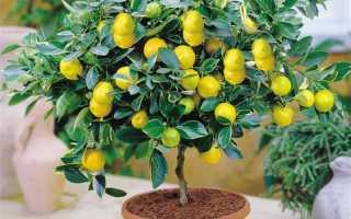 Вредители и болезни комнатного лимона