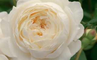 Розы на урале посадка и уход