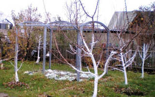 Побелка яблонь осенью
