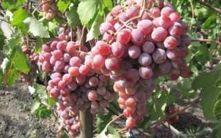 Агротехника выращивания винограда атаман