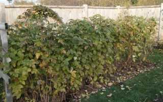 Что делать с кустами малины осенью