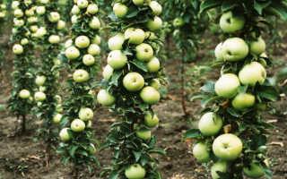 Колоновидные яблони обрезка формировка