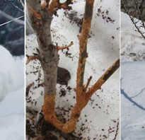 Защита яблонь от зайцев зимой