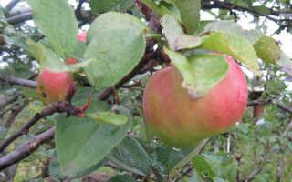 Яблоня балтика описание сорта