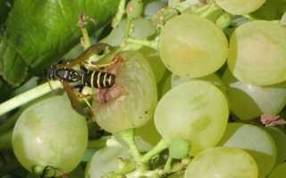 Защита винограда от ос использование сетки