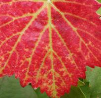 Уход за виноградом или почему у винограда краснеют листья