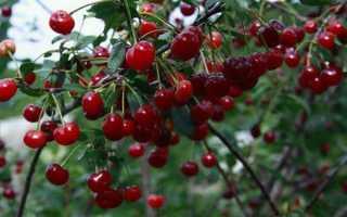 Выращивание вишни ашинская