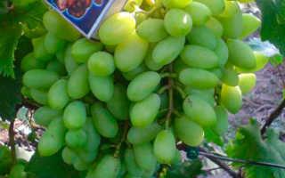 Сорт винограда обоеполого