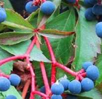 Дикий виноград уход и размножение
