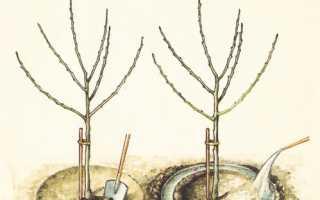 Когда поливать яблони осенью