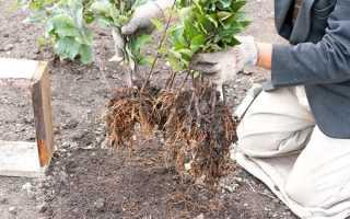 Как вырастить грушу из черенка