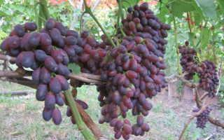 Интересные сведения о сорте винограда кармакод